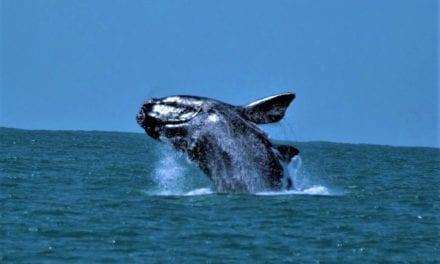 Saiba como observar baleias na Praia do Rosa