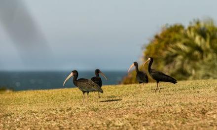 Birdwatching: conheça 7 espécies de aves típicas da Praia do Rosa